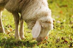 Pâturage des moutons en automne Images stock
