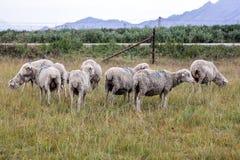 Pâturage des moutons marqués photographie stock libre de droits