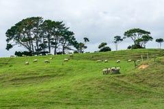 Pâturage des moutons sur une colline image libre de droits