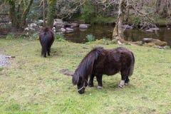 Pâturage des poneys photographie stock libre de droits