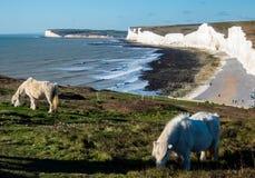 Pâturage des ponys sur le cap Bévésiers, Eastbourne, R-U photographie stock