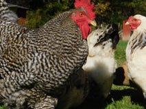 Pâturage des poulets Photographie stock libre de droits