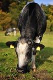Pâturage des vaches Image stock