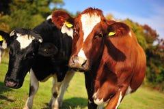 Pâturage des vaches Photos libres de droits