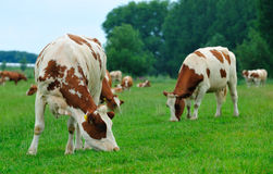 Pâturage des vaches photographie stock