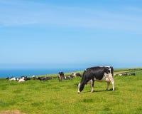 Pâturage des vaches Photographie stock libre de droits