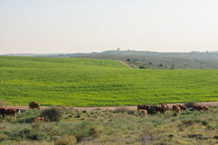 Pâturage des vaches dans le paysage pastoral Photos libres de droits