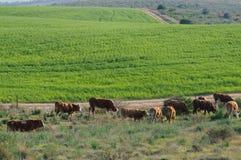 Pâturage des vaches dans le paysage pastoral Photographie stock libre de droits