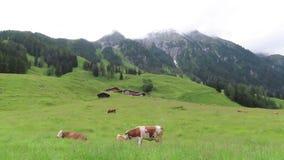 Pâturage des vaches dans le pré à la vallée de Zillertal dans le Tirol Autriche banque de vidéos