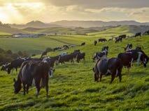 Pâturage des vaches dans le pré vert de la campagne accidentée Images stock