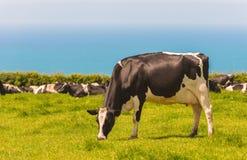 Pâturage des vaches laitières Photographie stock