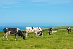 Pâturage des vaches laitières Image stock