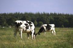 Pâturage des vaches noires et blanches Photo stock