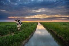 Pâturage des vaches sur les appartements de boue de Frysian Photos libres de droits