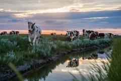 Pâturage des vaches sur les appartements de boue de Frysian Image libre de droits