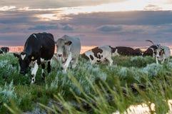 Pâturage des vaches sur les appartements de boue de Frysian Image stock