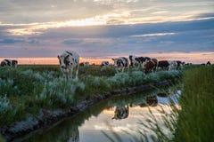 Pâturage des vaches sur les appartements de boue de Frysian Photos stock