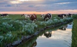 Pâturage des vaches sur les appartements de boue de Frysian Images libres de droits