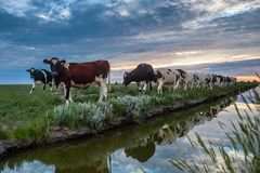 Pâturage des vaches sur les appartements de boue de Frysian Photographie stock