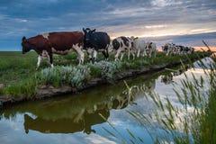 Pâturage des vaches sur les appartements de boue de Frysian Photo libre de droits
