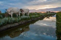 Pâturage des vaches sur les appartements de boue de Frysian Photographie stock libre de droits
