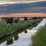 Pâturage des vaches sur les appartements de boue de Frysian Photo stock
