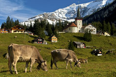 Pâturage des vaches sur un pâturage dans les Alpes Image stock