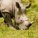 pâturage du blanc de rhinocéros Image libre de droits