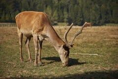 Pâturage du cerf de cerfs communs rouges Photographie stock libre de droits