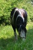 Pâturage du cheval Image stock