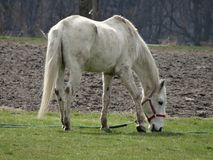 Pâturage du cheval blanc rural à côté des terres cultivables photos stock