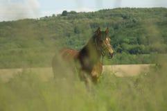 Pâturage du cheval dans un domaine photos libres de droits