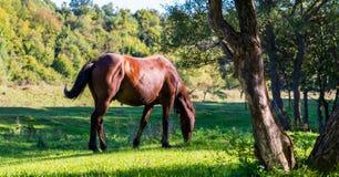 Pâturage du cheval de race brun sur le beau pré vert image stock