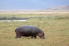 Pâturage du Hippopotamus Photos libres de droits