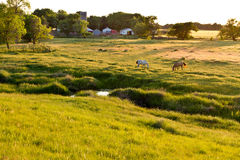 Pâturage du Kansas, frôlant des chevaux, coucher du soleil Image libre de droits