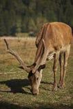 Pâturage du mâle de cerfs communs rouges Photos stock