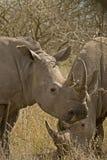 Pâturage du rhinocéros Image libre de droits
