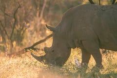 Pâturage du rhinocéros Photo stock