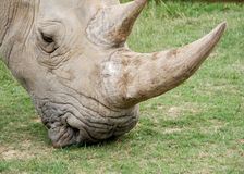 pâturage du rhinocéros Photos libres de droits