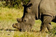 Pâturage du rhinocéros blanc Images libres de droits