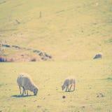 Pâturage du style d'Instagram de moutons Photographie stock libre de droits