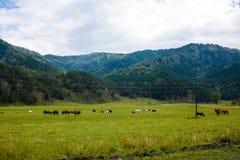 Pâturage du troupeau dans les vastes montagnes d'Altai photos stock