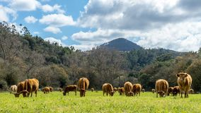 Pâturage du troupeau de vaches devant la montagne photos libres de droits