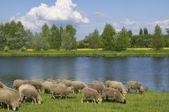 Pâturage du troupeau des moutons sur le fond des champs et de la rivière image stock