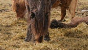 Pâturage islandais de cheval banque de vidéos