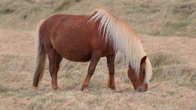 Pâturage islandais de cheval clips vidéos