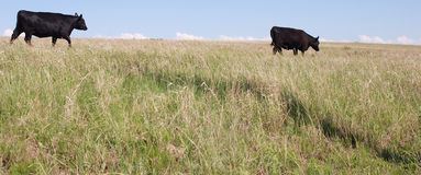 Pâturage noir de vaches à Angus image libre de droits