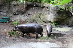 Pâturage pygméen d'hippopotames Photo stock