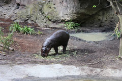 Pâturage pygméen d'hippopotames de bébé Images stock