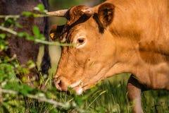 Pâturage sauvage espagnol de vache Images stock